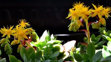 fiori gialli timelaps