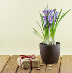 Crocus flowers in a pot with gift box and hearts