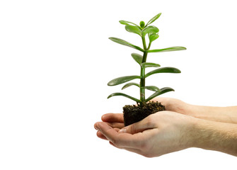 One green plant with soil in male hands isolated on white