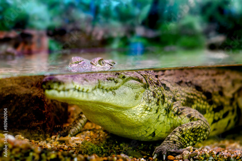 Foto op Plexiglas Krokodil young crocodile staring out of the water