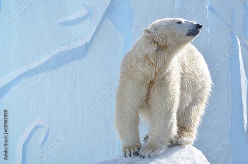 Plexiglas Ijsbeer Белый медведь.
