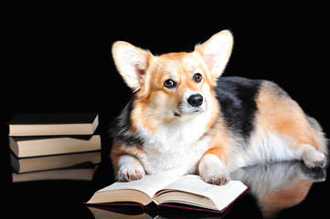 Welsh Corgi Pembroke reads a book, isolated on black