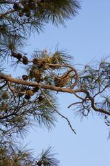 Ветви сосны и птичьи гнёзда на фоне неба
