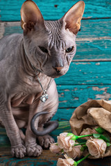 serious cat breed Sphynx