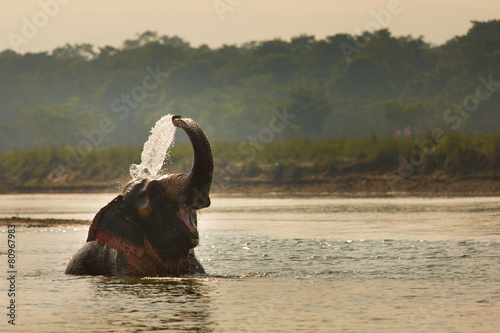 Elephant playing with water in a river, Chitwan