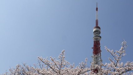 Cherry blossoms at Zojoji Temple and tower