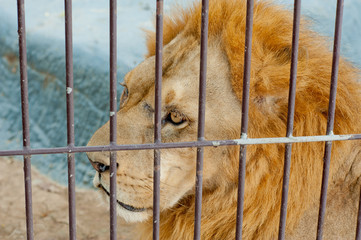 Male lion in cage