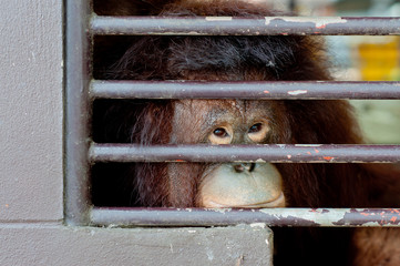 Lonely old Orangutan in the cage