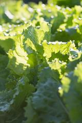 Growing new lettuce vegetable greens on garden bed