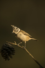 Crested Tit (Lophophanes cristatus), Spain, Europe