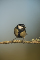 Great Tit (Parus major) perched on branch, Alicante, Spain
