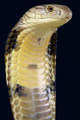 King Cobra (Ophiophagus hannah)