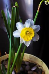 fiore di narciso