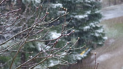 Buds on a tree in the spring and unexpected snowfall