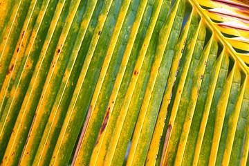 palme cocotier