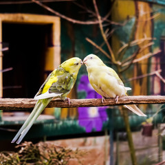 Two Small Parrots Kissing on Tree Branch
