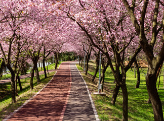 Rows of beautifully blossoming cherry trees on a river pathway
