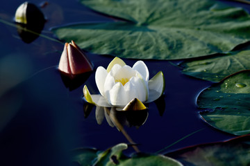 Nymphaea alba (water lily)