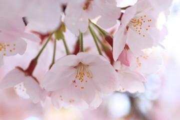 桜の花クローズアップ 日本の春