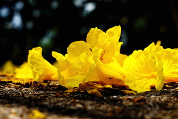 Trumpet flower tabebuia on the ground