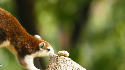 Squirrel eating nut in nature, slow motion.
