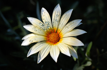 fresh blooming daisy in drops
