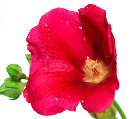 wild mallow flower isolated on white