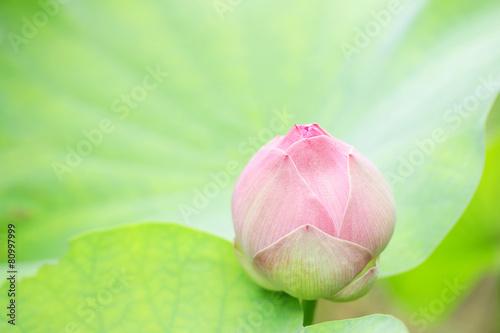 Deurstickers Lotusbloem Pink lotus bud