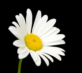 white daisy flower against black background