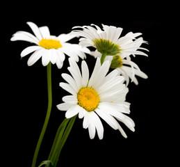white daisy flower against black background