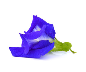 Butterfly Pea flower isolated on white background