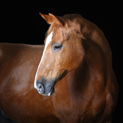 Portrait of red horse, isolated on black