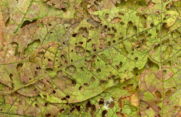 autumn leaves eaten by insects