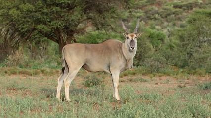 Young male eland antelope, Mokala National Park