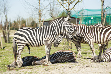 Zebre al parco