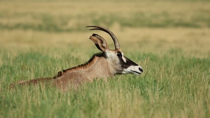 Roan antelope resting, Mokala National Park