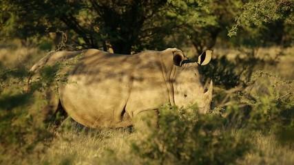 White rhinoceros in natural habitat