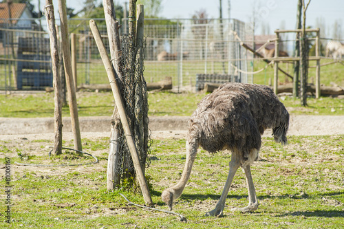 In de dag Struisvogel Ostriches