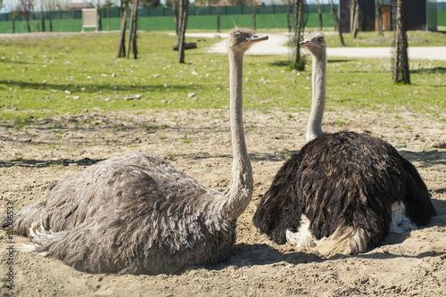 Fotobehang Struisvogel Ostriches