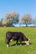 Cow grazing on the meadow