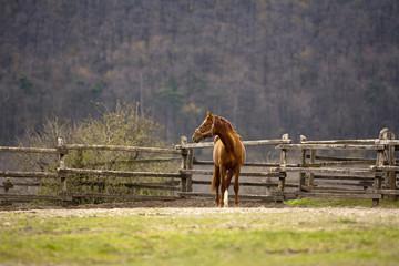 Thoroughbred Chestnut Stallion Grazing Springtime Rural Pasturel