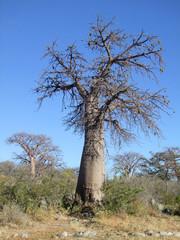 Baobab tree at Kubu Island