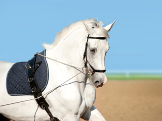 white dressage horse coaching
