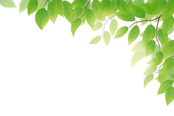 Fresh green beech leaves on white background