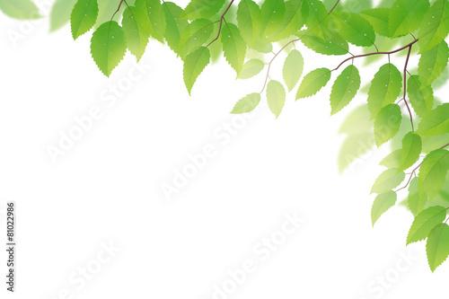 Fototapeta Fresh green beech leaves on white background