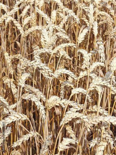 Vollreifer Weizen auf dem Feld - 81023565