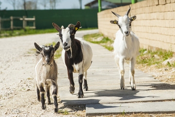 Three running goats
