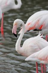 uccello acquatico fenicottero rosa camargue