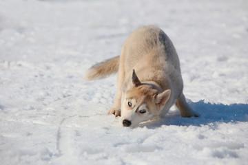 naughty puppy Husky