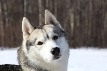 crafty timid gray wolf